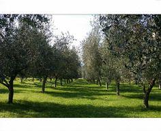 Sapone Nustrale fabrique des savons naturels Corse avec de l'huile d'olive, de l'aloe vera, des huiles essentielles, l'eau de source de Puzzichellu...