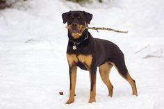 Snow Bunny | Talitha | Rottweiler | by This Pilgrim's Progress