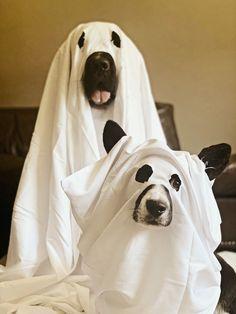 newfoundland and corgi dressed as ghosts for halloween
