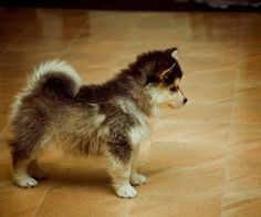this is a full size dog called a pomsky! pomeranian + husky!