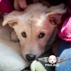 Read and watch the dog rescue flight story of little Aspen at http://ift.tt/1OjEb7s #aviation #instaaviation #instagramaviation #dog #dogrescue #pilotdog #pet #pilot #instagrampilot #instapilot #instadog #foreverhome #rescuedog #dogs #dogsofinstagram #rescuepetsofinstagram