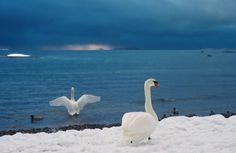 Whooper Swan = National bird of Suomi-Finland... featured on the Finnish 1 euro coin.