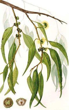 Resultado de imagen de eucalyptus globulus scientific illustration
