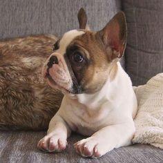 French Bulldog Puppy #frenchbulldogpuppy