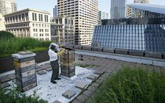 Urban beekeeping is the practice of keeping bee colonies in urban areas. It is healthier and more productive than country beekeeping. Many of us will remember our childhood growing up, maybe you got stung by a bee, you saw bees on flowers. Think of the kids today. Their childhood's a bit different. They don't