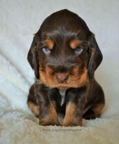 Animals And Pets, Baby Animals, Funny Animals, Cute Animals, Cute Little Puppies, Cute Puppies, Dogs And Puppies, English Cocker Spaniel Puppies, Cute Dogs Breeds
