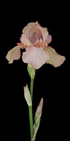 Peach Iris by Michael Peychich Iris Flowers, Planting Flowers, Wild Flowers, Beautiful Flowers, Flowers Garden, Exotic Flowers, Purple Flowers, Botanical Art, Botanical Illustration