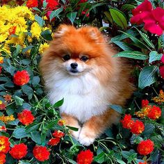 """4,920 Likes, 174 Comments - Pomeranians (@pomeranianpage) on Instagram: """"Happy Fall! @monique_ginger"""""""