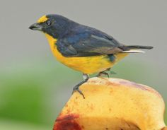 Yellow-throated Euphonia at Arenal Green Hotel, La Fortuna