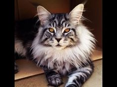 Best TOP 10  Maine Coon Kittens Cute Cats Maine coon Video compilation MORE VIDEOS HERE https://www.youtube.com/watch?v=InDJc2L_5dA&list=PLC_HjotBFMpNqd0u6cYK0NtHBXcOIEEoD   SUBSCRIBE: http://www.youtube.com/user/TheFederic777?sub_confirmation=1   #Kittens #Cats #CuteKittens