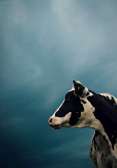 The Cow Before The Storm