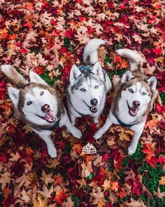 Deciduous trees lose their leaves once a year and its quite the spectacle . Huskies loose their coat twice a year and its equally the amount of work to rake it all up . We have a full four part video series for grooming and bathing your pups using the b Cute Husky, Husky Puppy, Cute Puppies, Cute Dogs, Dogs And Puppies, Puppies Gif, Doggies, Big Dogs, I Love Dogs