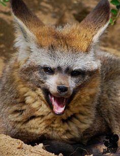 Yawning foxie by Allerlei.deviantart.com on @deviantART