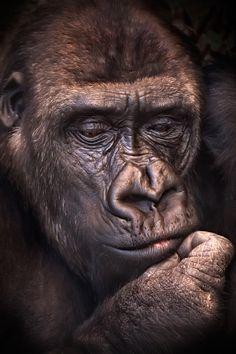 Gorilla - by Gerardo Soria