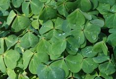 Oxalis oregana,  Oregon OxalisSun & shade levels Part Shade Shade Soil conditions Some Moisture Moist & Well-Drained