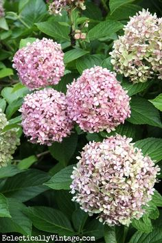 Hydrangeas - see how to dry them for lasting blooms all year long!  eclecticallyvintage.com @Eclectically Vintage