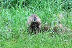 Groundhog or Woodchuck (Marmota monax) [Photo taken by J.Lewis in north-central WV with a 6 MP digital camera.]
