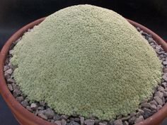 Dionysia tapetodes == Might be the weirdest of the weird!
