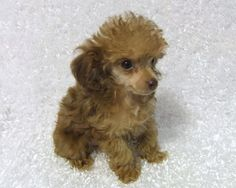 Teacup Poodles | Teacup poodle puppies Toy poodle puppies from Myteacuppoodles.com