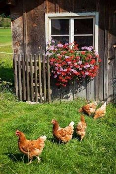 happy chickens at Ferienhof Hagenauer in a . - happy chickens at Ferienhof Hagenauer in an experience - Country Farm, Country Life, Country Living, Chickens And Roosters, Country Scenes, Farms Living, Down On The Farm, Raising Chickens, Chickens Backyard