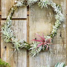 Lichen-covered walnut branch prunings from an orchard north of San Francisco form this frosty wreath.