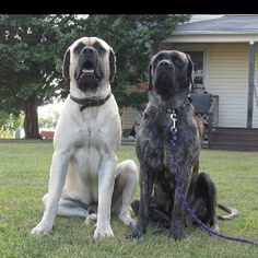 English Mastiffs, so cute  :) Almost looks like our pair of Mastiff; male apricot black faced and female reverse brindle...