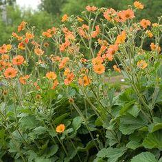 GEUM hybr. 'Totally Tangerine' -  Nellikerod, farve: orange, lysforhold: sol/halvskygge, højde: 50 cm, blomstring: juni - oktober, god til bunddække, velegnet til snit.