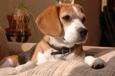 Handsome Beagle