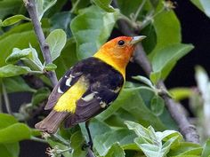 In the woods... Western Tanager - Pacific NW Birder