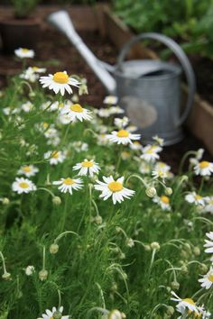{how to grow chamomile from dry tea bag tea & use in recipes}