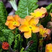 Primula 'Butterscotch'