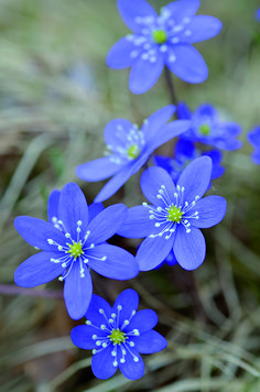 Closeup of blossoming hepatica nobilis Exotic Flowers, Purple Flowers, Beautiful Flowers, Forest Flowers, Flower Phone Wallpaper, Flower Names, Floral Photography, Blossom Flower, Flower Photos