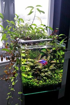 5 gallon tank: good betta tank. live plants. Your betta will display beautiful swimming, flaring and exploring behavior in these larger tanks that you may not see when they are kept in smaller habitats.