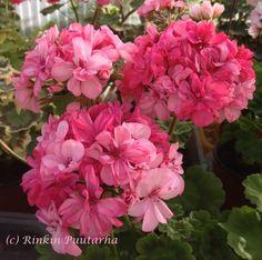 Nimismies on Vepsästä löydetty vanha pelargoni, joka kulkee myös nimellä Nevesta. Sen erikoisuus on kerrottujen kukkien suuri värinvaihtelu; ulkona auringossa kukat ovat pinkit, sisällä ne voivat olla lähes valkoiset. Ja muuten kaikkea siltä väliltä. Lehdet ovat suht pienet ja niissä erottuu selvästi tummemman vihreä vyöhyke. Kasvaa maltillisesti ollakseen vanha lajike. Kerrassaan hurmaava, runsaasti kukkiva ja kestävä kasvi.