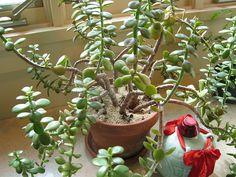 a very happy little jade plant in a classic terra cotta pot.