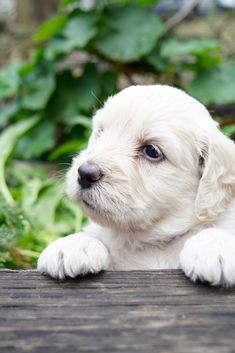 Theo, cream groodle puppy.