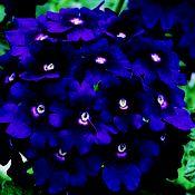 Verbena hybrid, 'Babylon Purple' ; Annual; likes Sun