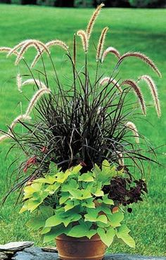 Plant Sweet Potato Vine - All About Gardens Fall Planters, Flower Planters, Garden Planters, Planter Pots, Potato Vine Plant, Potato Vines, Container Gardening, Gardening Tips, Outside Plants