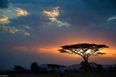 Acacia tree in the sunset, Africa