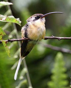 Tawny-bellied+Hermit | Tawny-bellied Hermit. Hummingbird