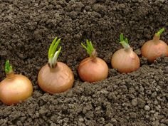 8 Exceptional Hacks: When To Plant Vegetable Garden In Indiana pretty vegetable garden fun.Easy Vegetable Garden Tips vegetable garden design straw bales.When To Plant Vegetable Garden In Indiana. Green Onions Growing, Growing Greens, Growing Plants, When To Plant Vegetables, Planting Vegetables, Growing Vegetables, Raised Vegetable Gardens, Vegetable Garden Design, Vegetables Garden