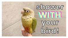 HOW TO SHOWER WITH YOUR BIRD! | Do You Shower With Your Bird? - YouTube Bird Toys, Cat Toys, Budgies, Parrots, The Creator, Shower, Bird Cage, Pets, Youtube