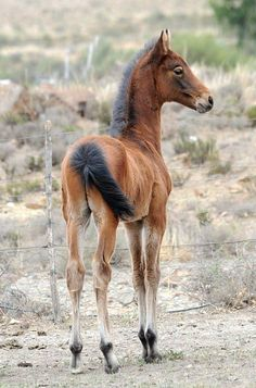South Africa Saddle Horse foal. - Stunning Equine Most Beautiful Animals, Beautiful Horses, Horse Girl, Horse Love, American Saddlebred, Types Of Horses, Baby Horses, Majestic Horse, All The Pretty Horses