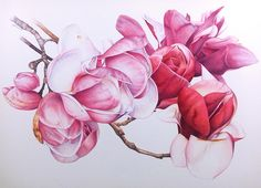 Magnolia Botanical Painting - You know that one of my very favourite subjects for botanical painting is the Magnolia. Theres something about the texture and rich palette that draws me in every time with the same energy and enthusiasm I took to them the very first time.