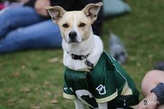 We have to admit, this dog looks good in green and gold. #SicEm
