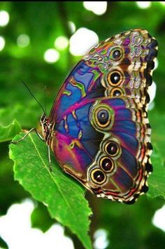 Mariposa psicodelic - stunning almost psychedelic hues of blue and pink and green and pattern on this butterfly