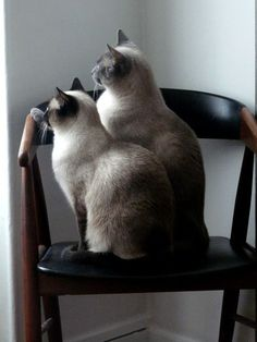 My cats. Siamese sisters.