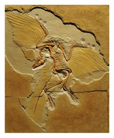 Discovered in the 1860s, Archaeopteryx was the first fossil evidence linking birds to dinosaurs. It had feathers like modern birds and a skeleton with features like a small non-avian dinosaur. Although it is the earliest and most primitive bird known to date, it is not considered the common ancestor of all birds.