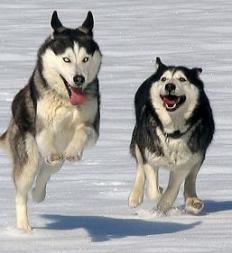 Fotos de perros huskys