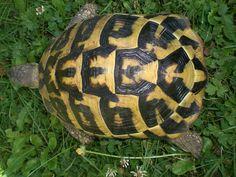 Résultats Google Recherche d'images correspondant à http://www.dinosoria.com/tortues/tortue-hermann.jpg